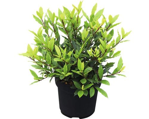 Echter Lorbeer FloraSelf Laurus nobilis ''Little Ragu'' ® Sweet Bay H 30-40 cm Co 4,5 L