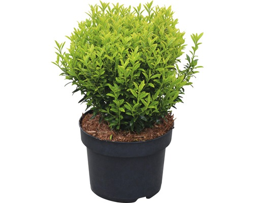 Kleinblättrige Spindelstrauch FloraSelf Euonymus japonicus ''Microphyllus Aureovariegatus'''' H 25-30 cm Co 6 L