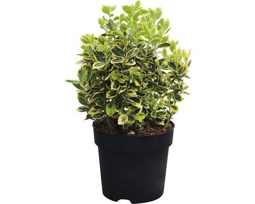 Spindelstrauch FloraSelf Euonymus japonica ''Marieke'' H 25-30 cm Co 6 L