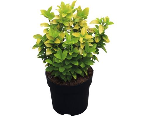 Spindelstrauch ''Eldorado'' FloraSelf Euonymus japonicus ''El Dorado'' ® H 25-30 cm Co 6 L