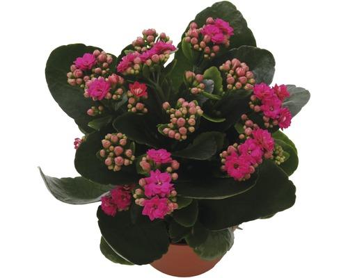Kalanchoé de Blossfeld Kalanchoe blossfeldiana ''Calandiva'' H 20-25 cm pot Ø 12 cm purple