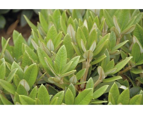 Rhododendron à grosses fleurs FloraSelf Rhododendron Hybride ''Honigduft'' H 30-40 cm Co 6 L