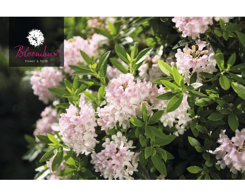 Rhododendron nain Rhododendron micranthum ''Nugget® by Bloombux'' Co 2 l