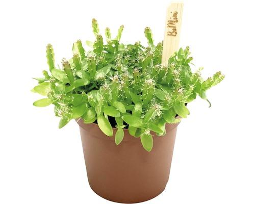 Cactus de forêt FloraSelf Hylocereus undatus h 10-15 cm pot de Ø 7 cm