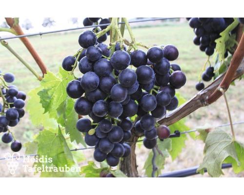 Raisin de table robuste Vitis vinifera « Muscat Bleu » h 40-60 cm Co 2 L