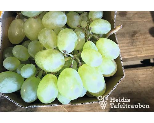 Raisin de table vinifera « Viktoria » h 40-60 cm Co 2 L