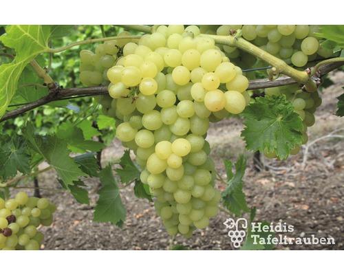 Raisin de table sans pépins Vitis vinifera « Picurka » h 40-60 cm Co 2 L