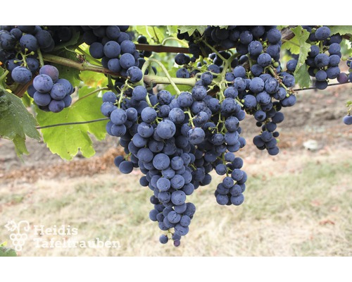 Raisin de table ou de vinification à très forte croissance Vitis vinifera « Regent » h 40-60 cm Co 2 L