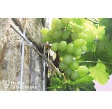 Raisin de table à très fort rendement Vitis vinifera « Bianca » h 40-60 cm Co 2 L-thumb-0