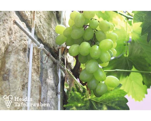 Raisin de table à très fort rendement Vitis vinifera « Bianca » h 40-60 cm Co 2 L-0