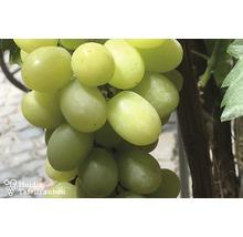 Raisin de table robuste vinifera « Phoenix » h 40-60 cm Co 2 L-thumb-0