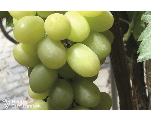 Raisin de table robuste vinifera « Phoenix » h 40-60 cm Co 2 L