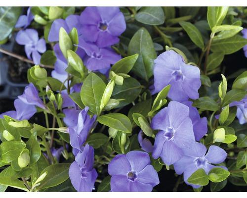 12 x Petite pervenche FloraSelf Vinca minor Vinca H 5-7 cm pot Ø 9 cm