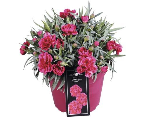 Œillet commun FloraSelf Dianthus caryophyllus ''Nina'' h 10-15 cm Ø 15 cm pot (3 pces)
