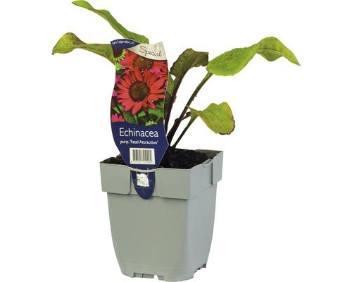 Échinacée rose Echinacea purpurea ''Fatal Attraction'' H 5-50 cm Co 0,5 L (6 pièces)