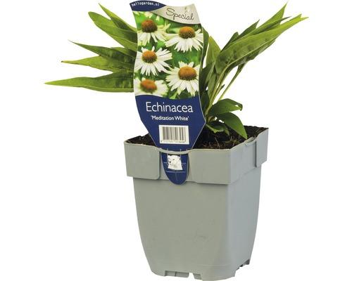 Échinacée blanche Echinacea ''Meditation White'' ® H 5-50 cm Co 0,5 L (6 pièces)