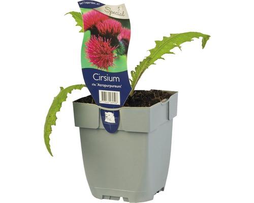 Chardon pourpre Cirsium rivulare 'Atropurpureum' H 5-40 cm Co 0,5 L (6 pièces)