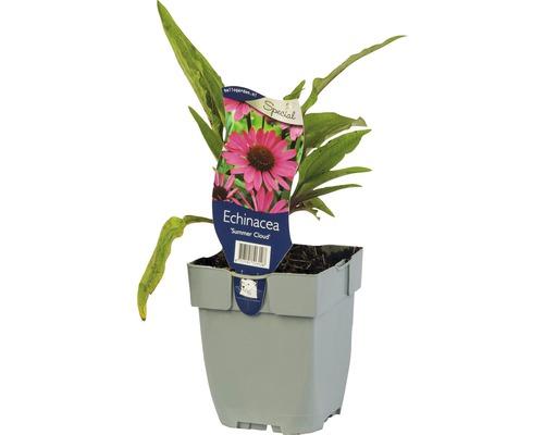 Échinacée rose foncé Echinacea 'Summer Cloud' H 5-40 cm Co 0,5 L (6 pièces)
