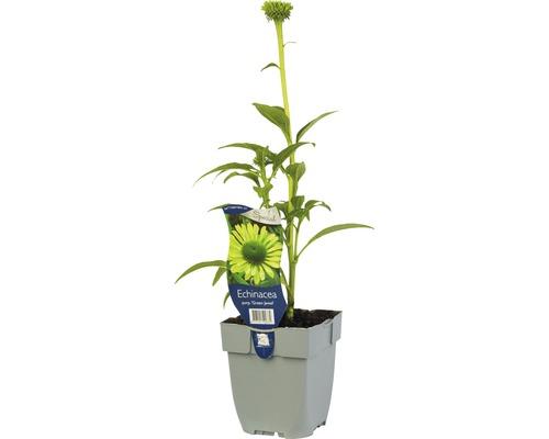 Échinacée verte Echinacea purpurea ''Green Jewel'' H 5-50 cm Co 0,5 L (6 pièces)