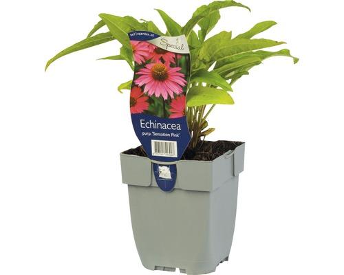 Échninacée magenta Echinacea 'Sensation Pink' ® H 5-40 cm Co 0,5 L (6 pièces)