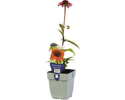 Échinacée orange Echinacea purpurea ''Sun Seekers Bright Orange''® H 5-50 cm Co 0,5 L (6 pièces)