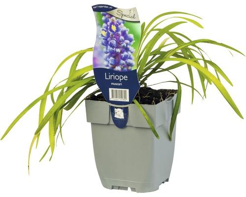 Liriope muscari H 5-15 cm Co 0,5 L (6 pièces)