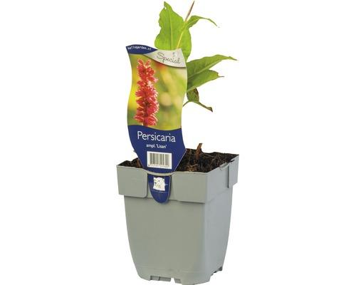 Persicaire Bistorta amplexicaulis ''Lisan'' H 5-60 cm Co 0,5 L (6 pièces)