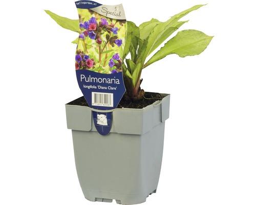 Pulmonaire officinale Pulmonaria longifolia ''Diana Clare'' H 5-25 cm Co 0,5 L (6 pièces)