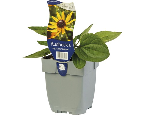Échinacée Rudbeckia fulgida ''Little Gold Star'' ® H 5-50 cm Co 0,5 L (6 pièces)