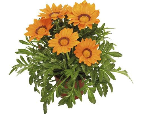 Gazanie FloraSelf® pot de 10,5 cm, orange