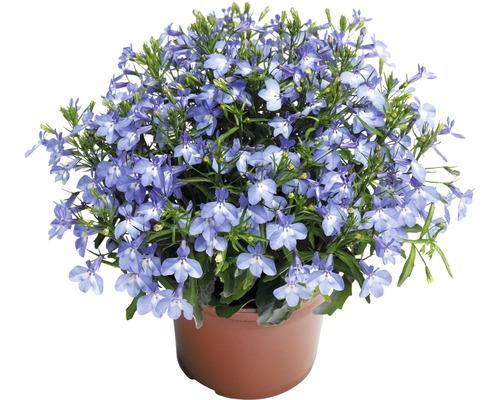 Lobélie retombante FloraSelf Lobelia richardii pot Ø10,5cm