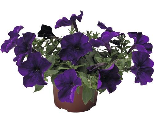 Pétunias retombants FloraSelf® pot de 10,5 cm rose