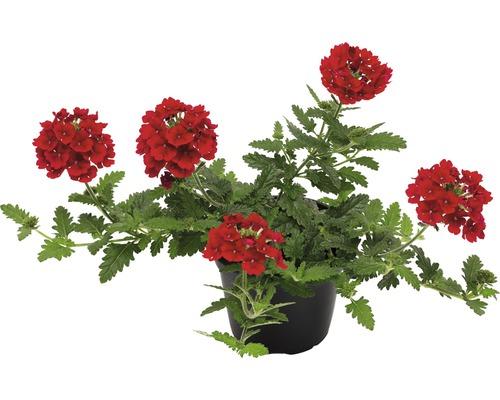 Verveine FloraSelf® Verbena x Hybrida Ø 12cm