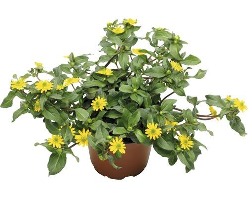 Sanvitalia FloraSelf® pot de 10.5 jaune