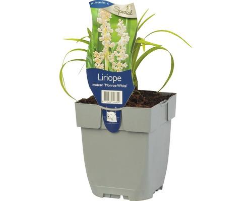 6 x liriope muscari, liriope muscari lila, liriope muscari « Monroe White » h 5-20 cm Co 0,5 L