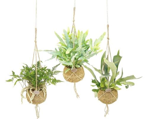 Kokodama retombant FloraSelf Fougères en ensemble de suspension florale, hauteur avec pot 20-30 cm pot Ø 17 cm différentes sortes