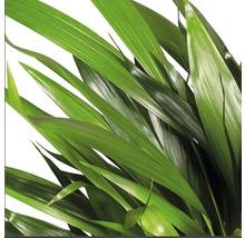 Palmiste multipliant FloraSelf Dypsis H20-30 cm Ø 7 cm pot-thumb-2