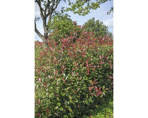 Photinia fraseri FloraSelf ''Red Robin'' H100-125cm Co 15l