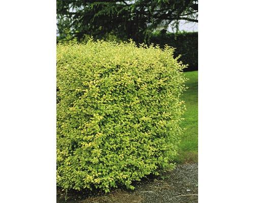 Troène doré de Californie 50-60 cm