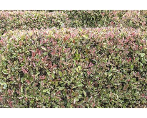 Photinie blanc-vert FloraSelf Photinia fraseri ''Pink Marble'' H 100-125 cm Co 15 l