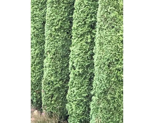 Thuja FloraSelf® Thuja Smaragd 80-100 cm