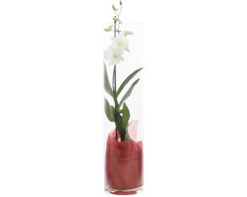Dendrobium SaNook dans un verre H 55cm rose-lilas