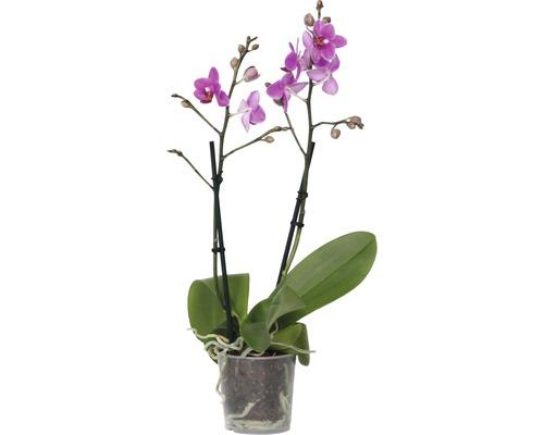 Orchidée papillon FloraSelf Phalaenopsis multiflora Mini h 35-45 cm pot Ø 9 cm 2 panicules diff. couleurs