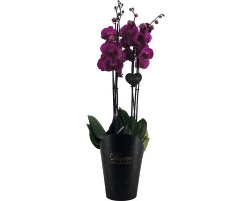 Orchidée papillon FloraSelf Phalaenopsis Hybride H 70-80cm pot Ø 17cm 4 panicules rose-lilas