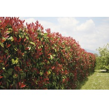 12 x photinies FloraSelf Photinia fraseri ''Red Robin'' h 80-100 cm Co 10 l pour une haie d''env. 5 m-thumb-3