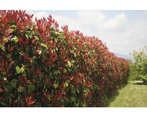Photinia fraseri FloraSelf ''Red Robin'' pyramide 150/160cm Co 30l