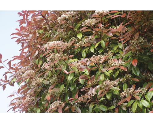 Glanzmispel FloraSelf Photinia fraseri ''Red Robin'' H 130-140 cm Co 45 L