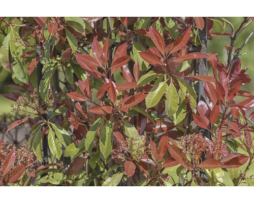 Photinia FloraSelf Photinia x fraseri ''Red Robin'' en espalier L110-120cmxl80cm Co 25l