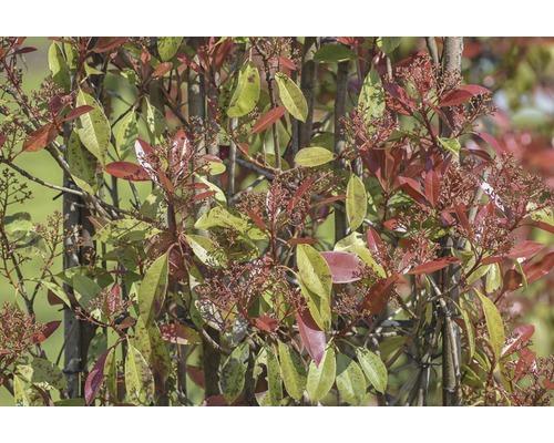 Photinia fraseri en espalier FloraSelf ''Robusta Compacta'' H100-125cmxl50cm Co 18l