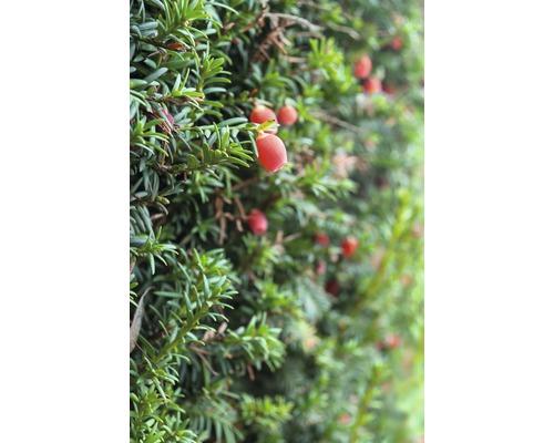 If femelle arbustif FloraSelf Taxus media ''Hicksii'' H 50-60 cm ClickCo